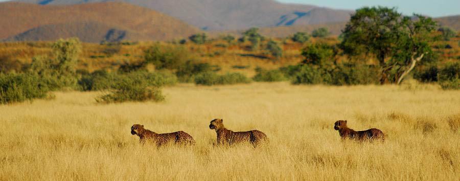 Luxury Cape Town & Kalahari - South Africa Cheetah at Tswalu Kalahari