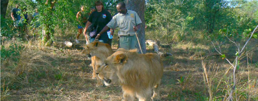 Africa, dal Capo alle Victoria Falls - Zimbabwe Victoria Falls, walking with lions