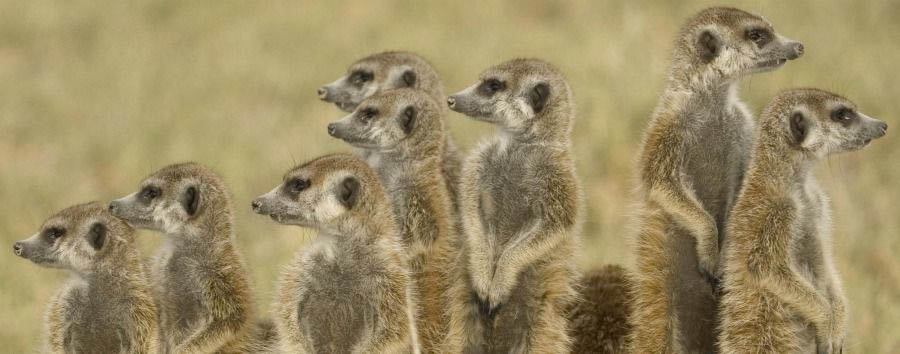 Unique Botswana Experience - Botswana Group of Meerkats in The Makgadikgadi Pans
