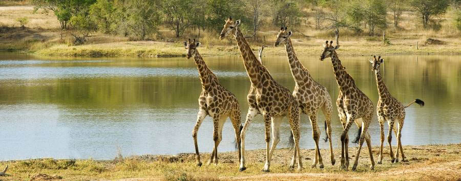 Chitwa Chitwa - Giraffes overlooking the lodge
