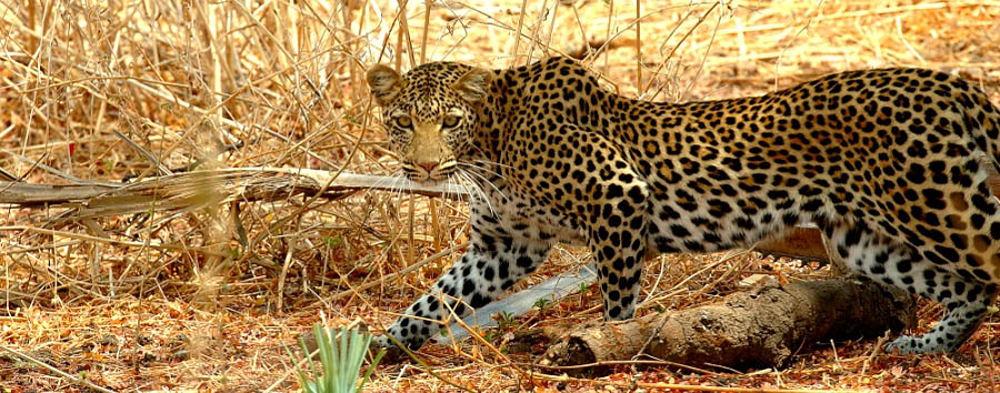 Tanzania - Leopard in the Ruaha National Park