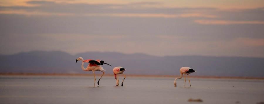 Cile,  Charming Atacama - Chile Flamingos in the Chaxa Lagoon