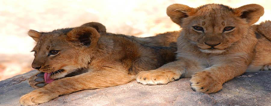 Zimbabwe - Lions Cubs at Hwange National Park