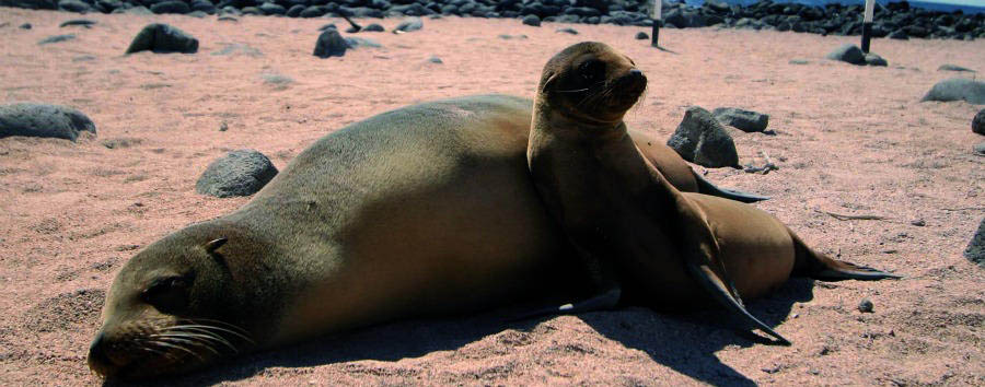 Lo Mejor de Ecuador - Ecuador Gálapagos Islands, North Seymour Island, Sea Lions