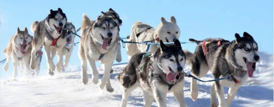 Finlandia: alla scoperta della Lapponia - Finland Sleigh pulled by Husky © Tumlare