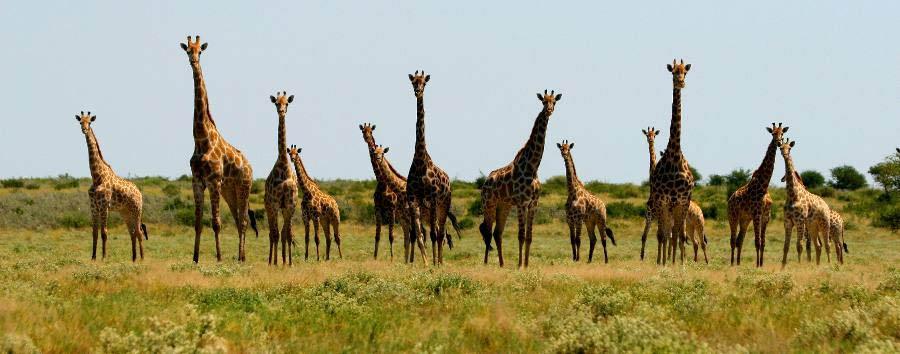 Viaggio nella terra dei San  - Botswana Giraffe in Nxai Pan National Park