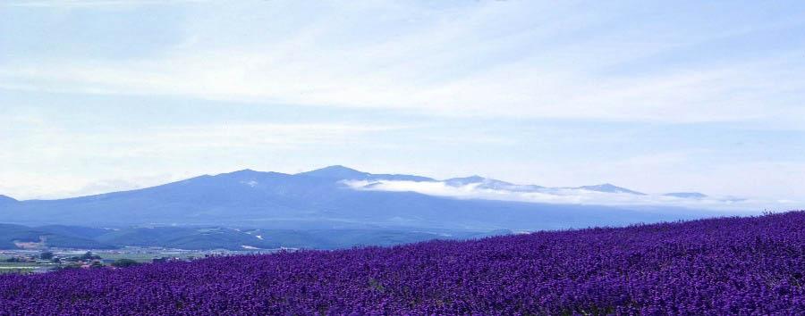Wild Hokkaido - Japan Furano, lavander field