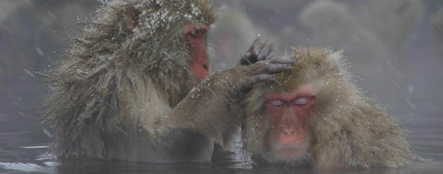 Le scimmie delle nevi - Japan Two Snow Monkeys at The Jigukodani Snow Monkey Park