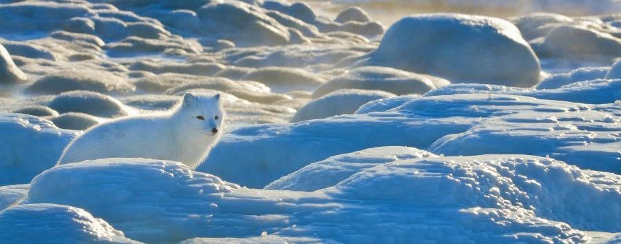 Alla ricerca degli orsi polari - Arctic Arctic Fox - Courtesy of Churchill Wild