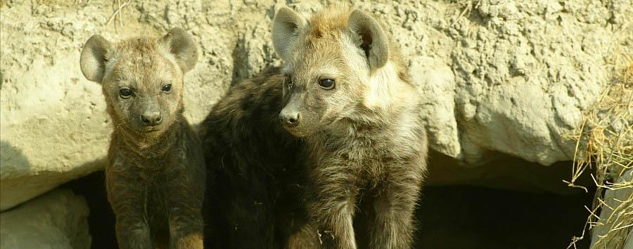 Tanzania Wildlife & Cultural Explorer - Tanzania Hyenas in the Serengeti National Park