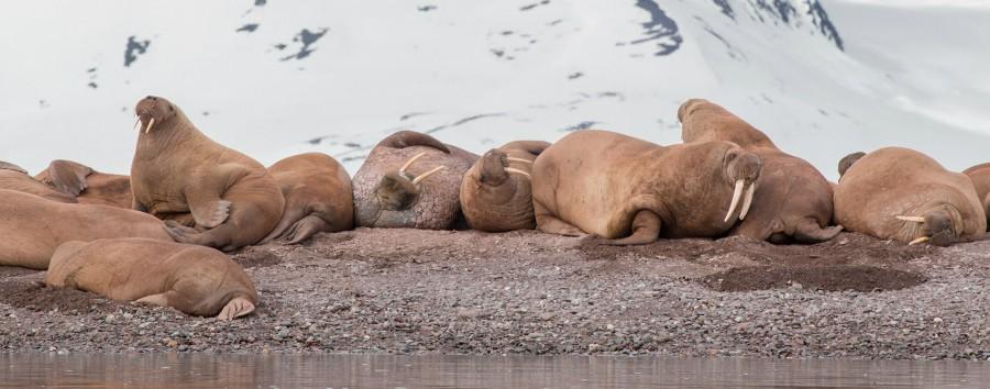 Artico: le tre perle dalle Highlands all'alto Artico - Artico Walruses