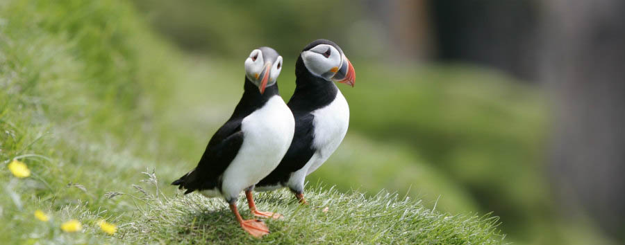 Reykjavik City Break - Iceland Puffins © Elding Adventure at Sea