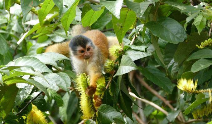 Monkey in The Lapa Rios Private Reserve - Costa Rica