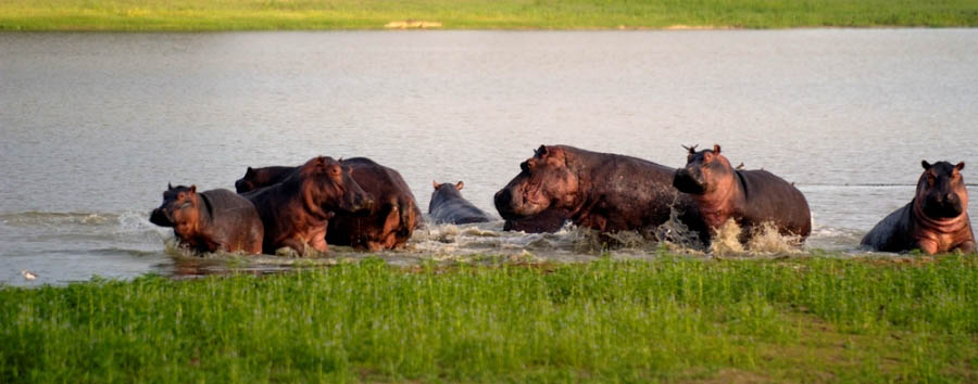 Luxury Tanzania Escape - Tanzania Herd of hippos in the Rufiji River