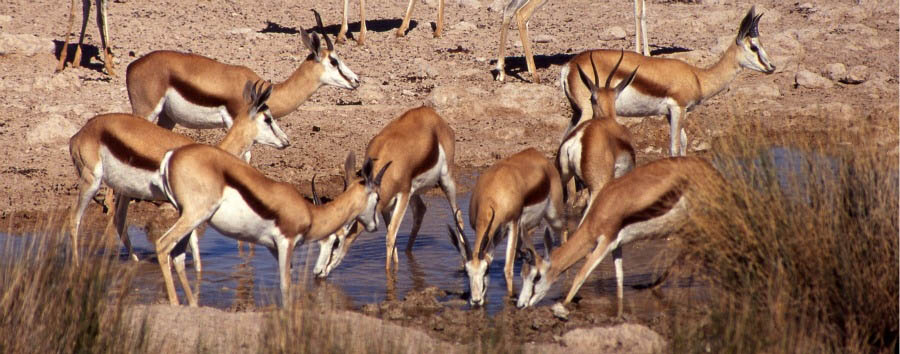 Namibia, visi e sorrisi - Namibia Springboks in Etosha National Park