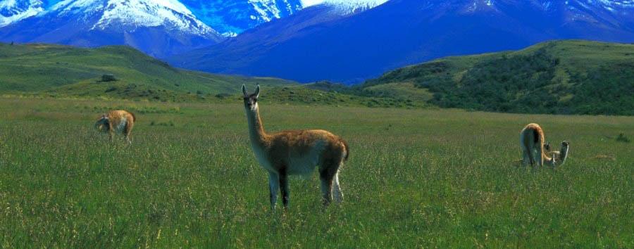 Cile, terra di miti e leggende - Chile Patagonia, Las Vicuñas