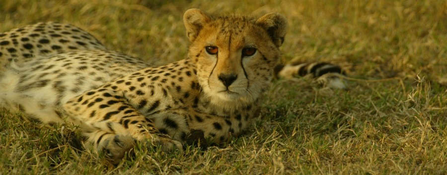Tanzania - A Beautiful Cheetah