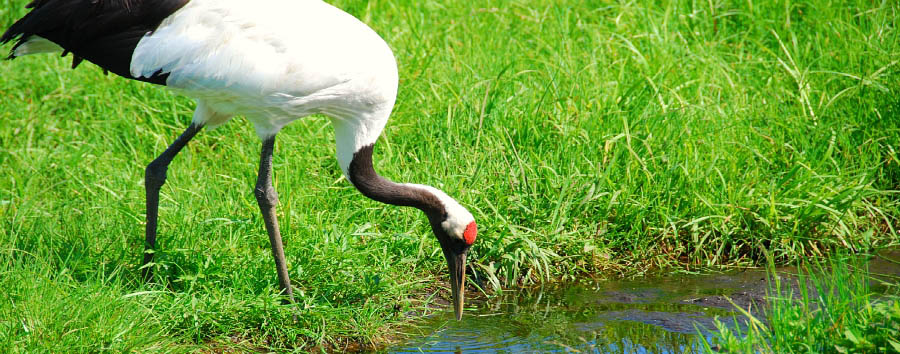 Japan - Red-crowned Crane in the Kushiro National Park