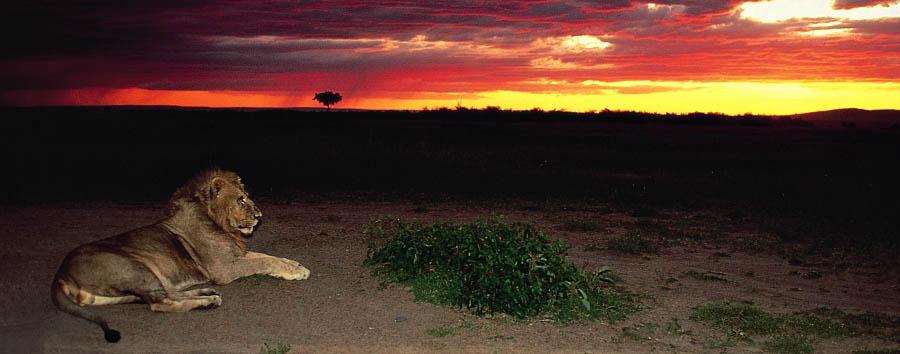 Kenya a 360° - Kenya African moments - lion at sunset