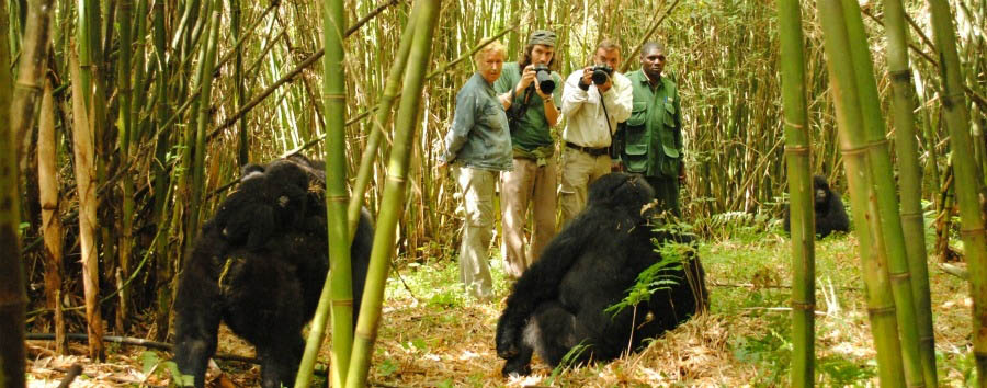 Mountain+Gorilla+View+Lodge+-+Gorilla+Safari