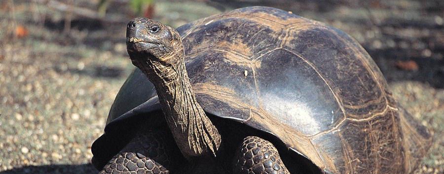Gálapagos Island Hopping - Ecuador Gálapagos, Giant Turtle in El Chato Reserve © Metropolitan Touring