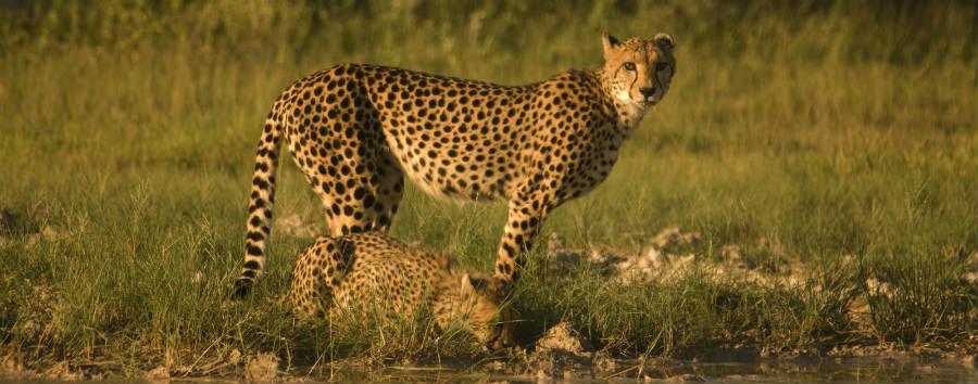 Viaggio nella terra dei San  - Botswana Cheethas in Makgadikgadi Pans © African  Bush Camp