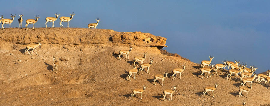 City, Desert and Outer Islands - Abu Dhabi Gazelles in Sir Bani Yas Island