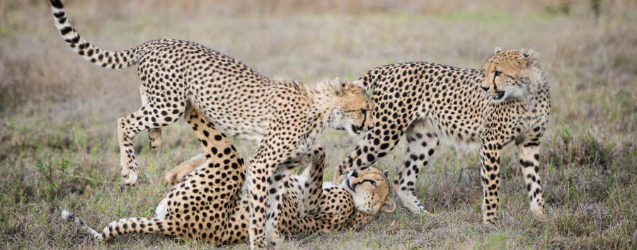 South Africa - Cheetahs in Sabi Sands Game Reserve