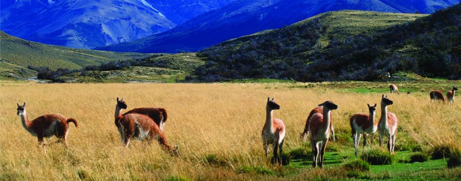 Chile - Guanacos in Torres del Paine National Park
