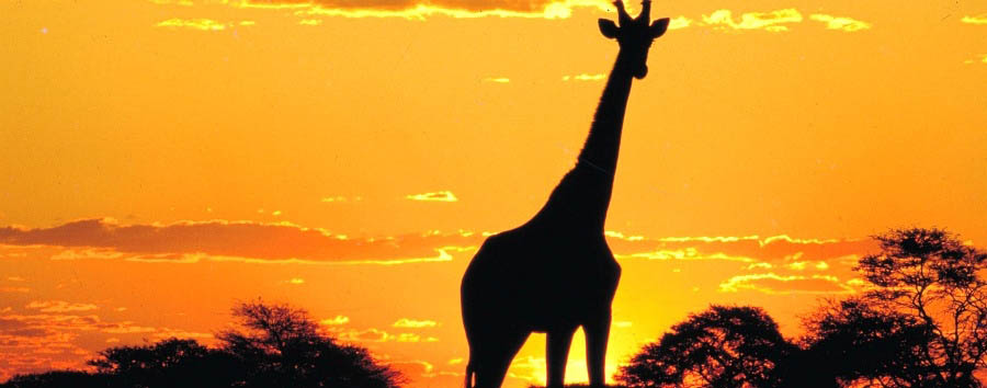 South Africa Adventure - South Africa Sunset with Giraffe at Kruger National Park