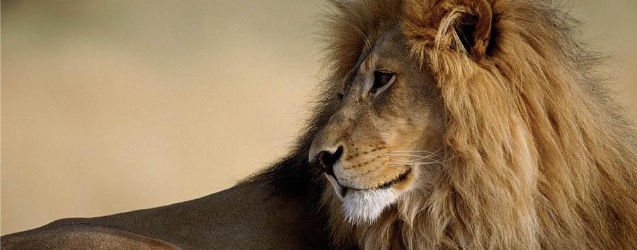 Namibia, dai pinguini ai leoni - Namibia Beautiful Lion in the Etosha National Park