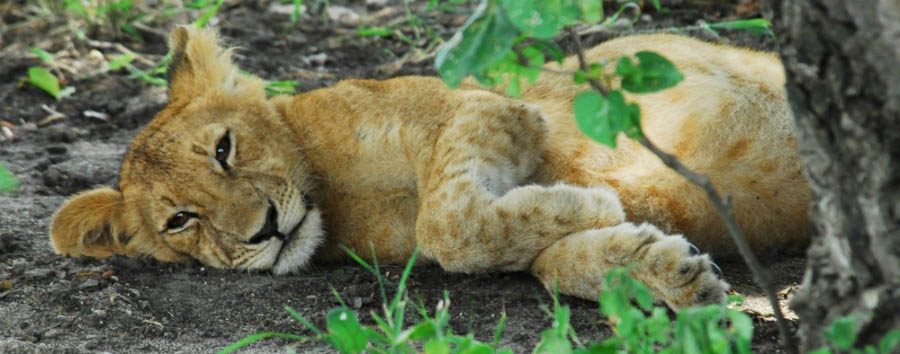 Tanzania - Lion Cub in Selous Game Reserve