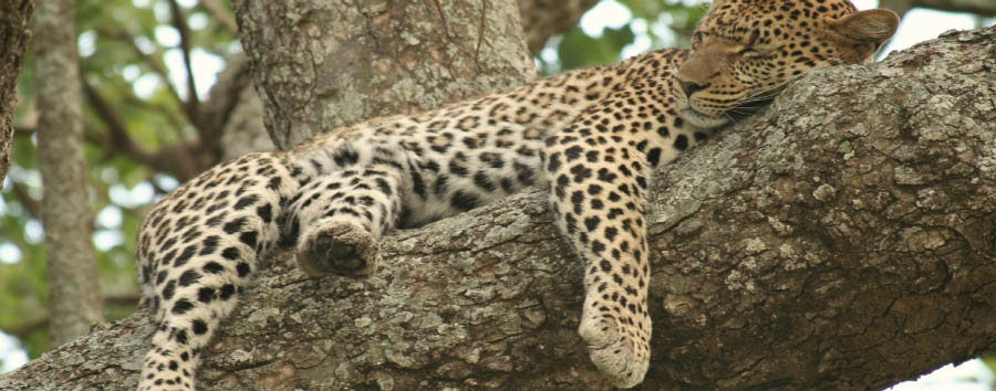 Tanzania Sky Safari - Tanzania Leopard sleeping on a tree