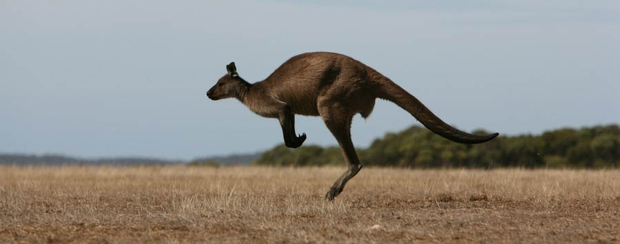 Unique Kangaroo Island Experience - Australia Kangaroo in The Flinder Chase National Park © Luxury Lodges of Australia