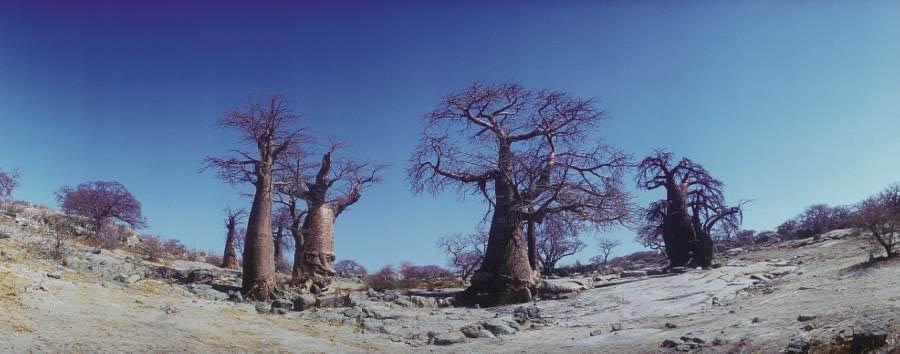Planet Baobab - Baobabs