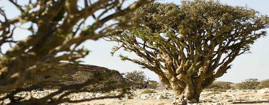 Mare al Marriott Salalah - Oman Dhofar. Frankincense tree