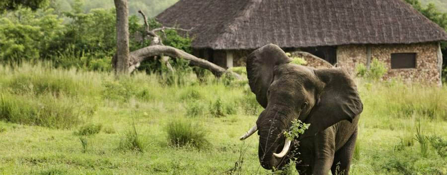 Luxury Tanzania Escape - Tanzania Male elephant eating just outside your room