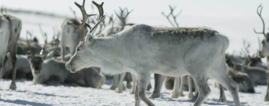 Magia Artica - Norway Reindeer © C.H.- Visitnorway.com