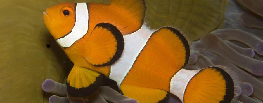 Blue Diving - Philippines Dumaguete, False Clown Fish in Apo Island Marine Sanctuary