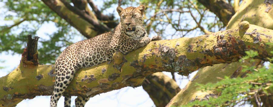 Discovering Tanzania - Tanzania Leopard on a tree