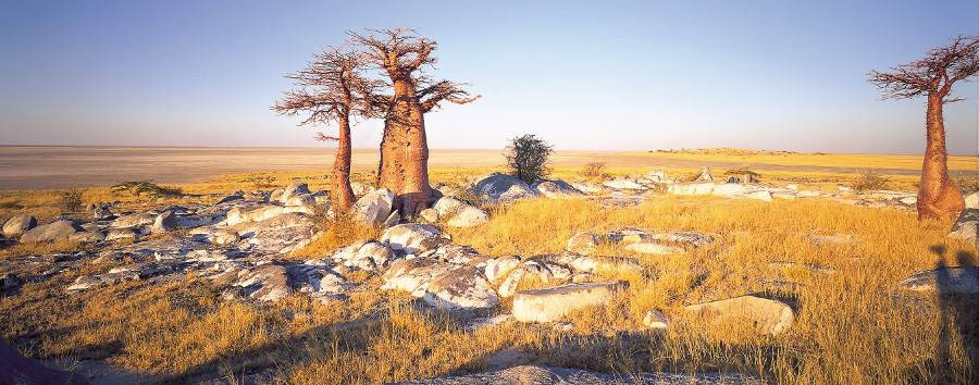 Mobile+Safari+Expeditions+-+Baobabs+in+the+Kalahari