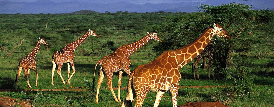 Kenya Highlights - Kenya Giraffes in the Amboseli National Park