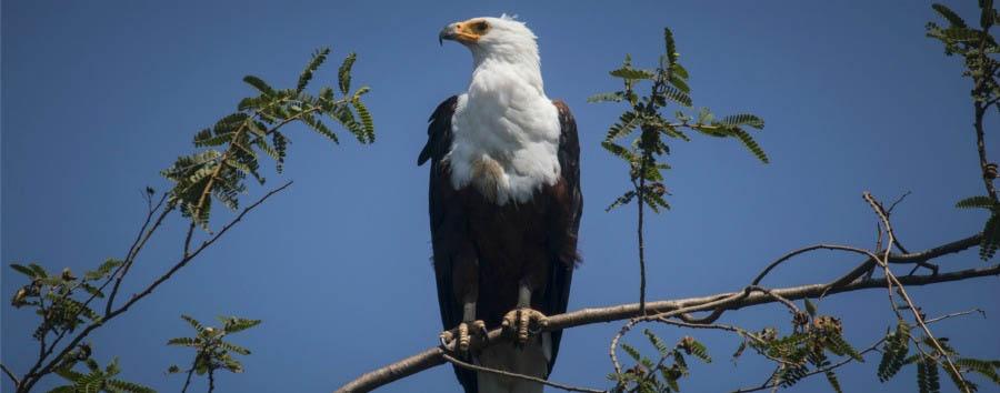 Unique Lake Victoria Experience - Tanzania Rubondo Island Park, Fish Eagle
