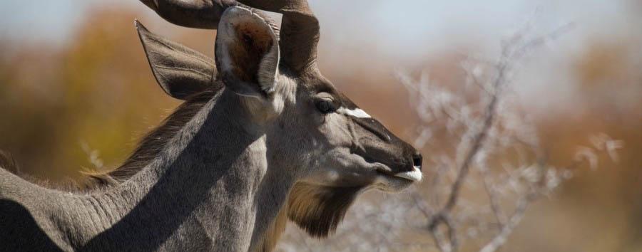 Namibia, canyon e silenzi - Namibia Kudu in NamibRand Nature Reserve