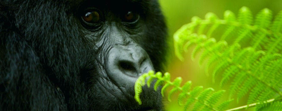 The undiscovered pearl of Africa - Uganda Bwindi Impenetrable Forest National Park, The Intense Gaze of a Gorilla