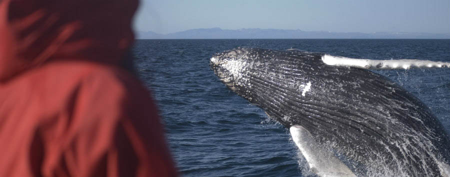Reykjavik City Break - Iceland Breaching Humpback Whale © Elding Adventure at Sea