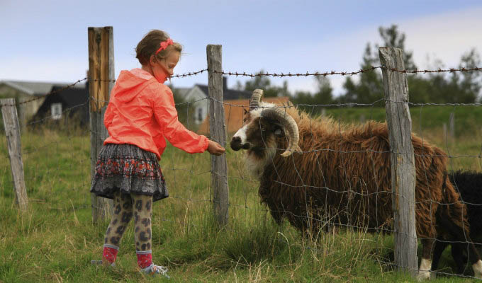 Reykjavik, Feeding The Goat at Arbaer Open-air Museum - Courtesy of Iceland Travel - Iceland