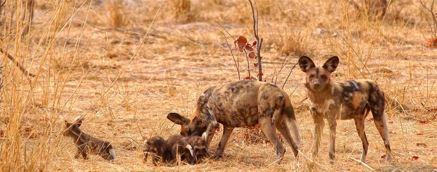 Grande Natura d'Africa - Botswana Wild Dogs