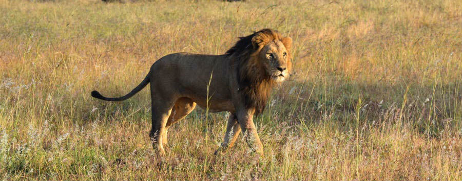 South Africa - Lion in Sabi Sands Game Reserve