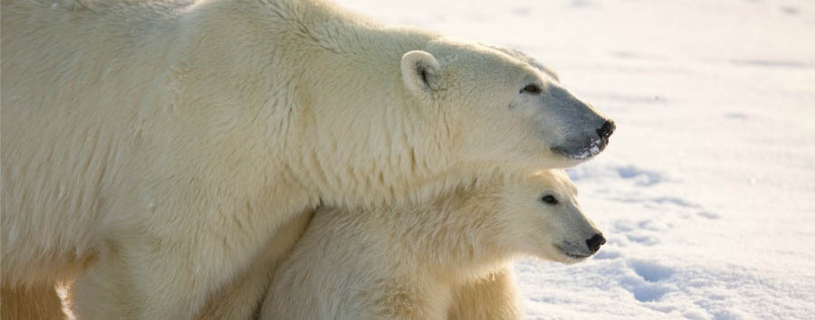 Alla ricerca degli orsi polari - Arctic Mom and Cub - Courtesy of Churchill Wild
